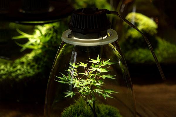LED Grow Light on Bonsai at a Close Distance